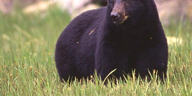 An Alaskan black bear.