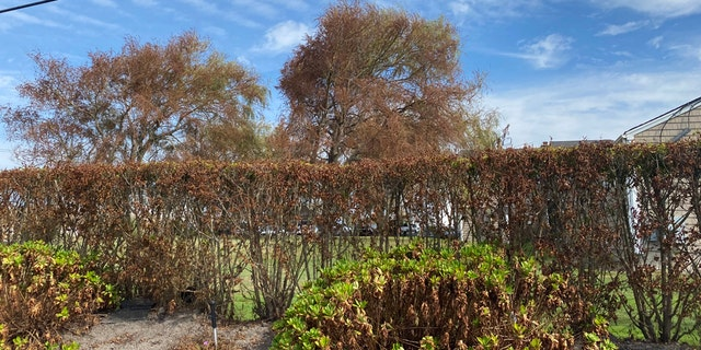 Several trees have withered, brown leaves on one side and are a normal green on the other on New York's Long Island after Tropical Storm Isaias.