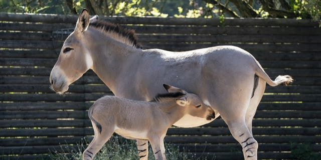 The African wild donkey foal born on August 5 at Marwell Zoo, Hampshire. (Credit: SWNS)