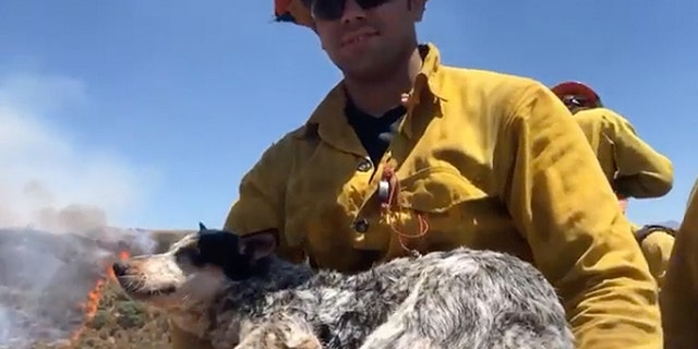 A missing Queensland heeler was found by firefighters battling the Apple Fire and returned to its owner.