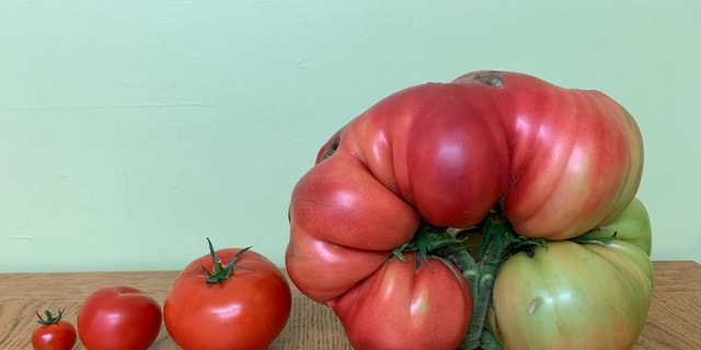 Smith will now keep the seeds from his huge tomato to continue growing more of the fruit.