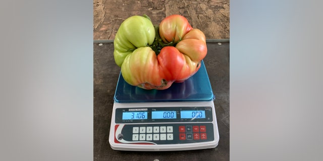 Smith got the seeds for his giant tomato from US tomato grower Larry Hill, from Minnesota - who yielded the seeds from his own, 7.65-pound tomato plant.