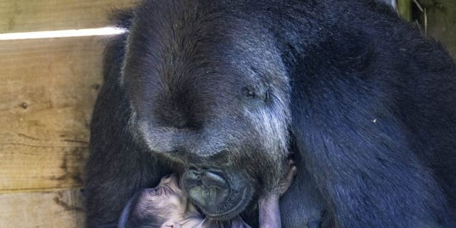 positive news Kala holds her 1-day-old gorilla at Bristol Zoo Gardens. (Credit: SWNS)