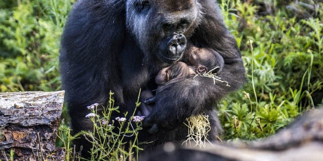 positive news Zookeepers at Bristol Zoo Gardens found the little gorilla nestling in the arms of its 9-year-old mother. (Credit: SWNS)