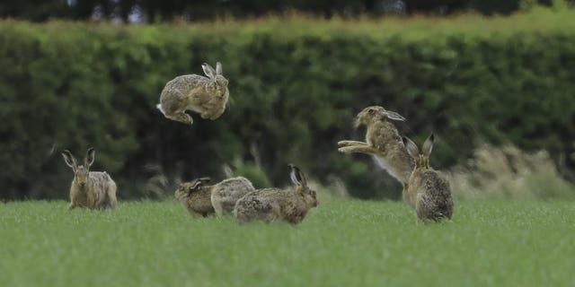 A hare seems to levitate as it fights with other hares in East Lothian, Scotland. This amazing photo shows two hares in the middle of a 'boxing match' - with one hare looking like it is levitating as it leaps through the air. (Credit: SWNS)