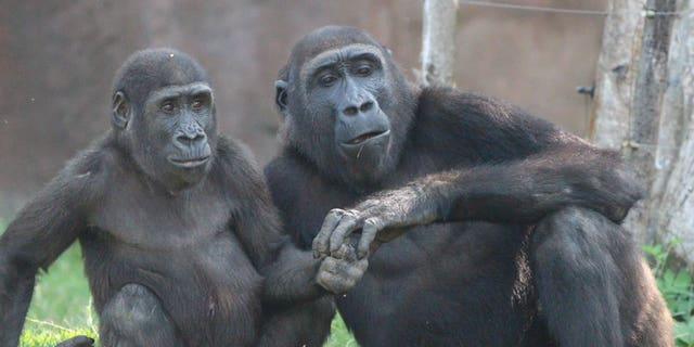 These adorable pics show gorilla siblings Ajabu and his older brother Nuru having a cuddle and a bundle at Prague Zoo on August 17, 2020. (Credit: SWNS)