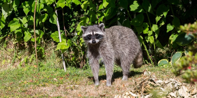 Forty animals have tested positive for rabies in 14 of Maine's 16 counties this year. (iStock)
