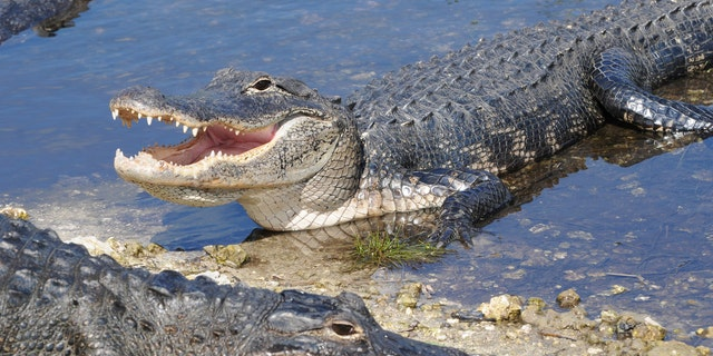 Two alligators were stolen from Pearce's Pet Place in early August 2020. Police are searching for the animals in Pennsylvania. (iStock)