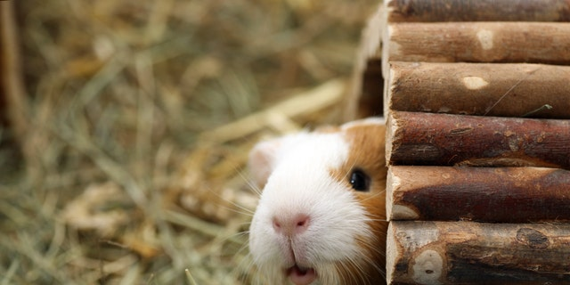 In the guinea pig study, the researchers investigated if tiny, non-respiratory particles or aerosolized fomites, could carry influenza virus between guinea pigs. (iStock)