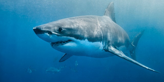 A great white shark swimming just below the surface. The environment is the deep blue ocean. The shark looks to be in hunting mode.