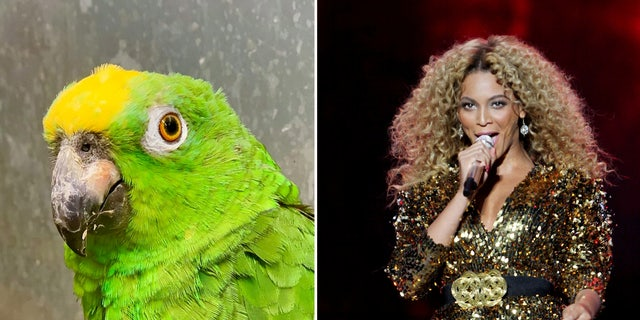 Chico the parrot has become a social media sensation for?belting out hit tunes by Beyoncé.