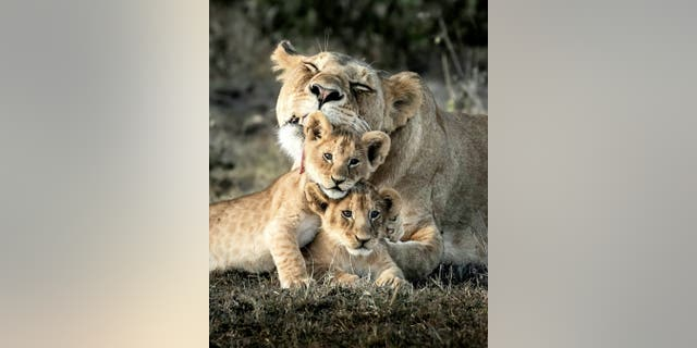 Roarsome picture of a mother lion tending to her two adorable cubs on the plains of the Masai Mara in Kenya. (Credit: SWNS)