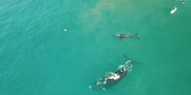 """""""There were loads of surfers close to the whales and it looked like the calf wanted to play with the surfers."""""""
