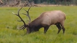 Oregon officials rescue elk who caught antlers in downed wires: video