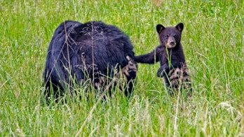 Bears found sleeping under Tennessee home after gas leak