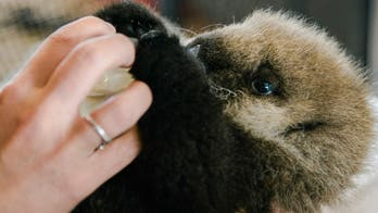 How Joey, the baby sea otter became a viral sensation amid the coronavirus pandemic