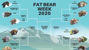 Alaska national park's Fat Bear Week tournament returns to celebrate chubbiest brown bears