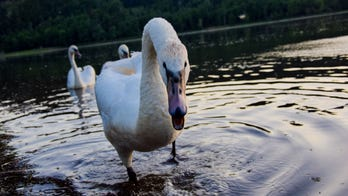 Woman's dangling face mask bitten by swan, snapped back into place