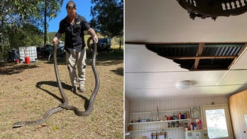 Australian man finds 2 huge pythons in home after they crash through kitchen ceiling