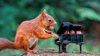 Red squirrel 'plays' grand piano in viral photos
