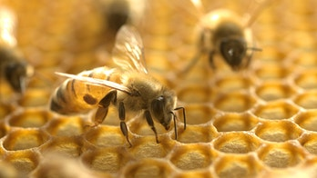 Honeybee venom destroyed breast cancer cells: Study