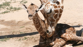 Colorado zoo livestreams giraffe birth, viewers pleased with adorable newborn: 'Such a cutie'