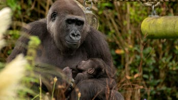Newborn gorilla spotted cuddling with mom in viral photos