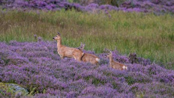 Real-life 'Bambis' spotted with mother in Scotland