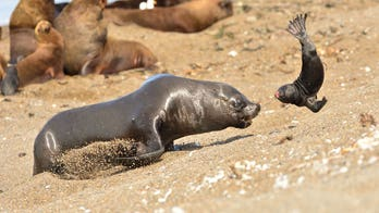 WARNING GRAPHIC IMAGES: Male sea lion tosses cub in frustration during mating season