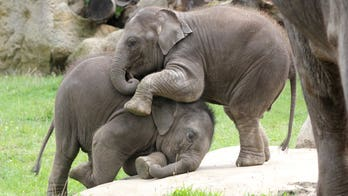 Elephants spotted 'wrestling' each other