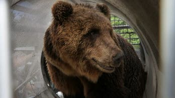 Brown bear recaptured after 3rd escape from wildlife habitat, 2nd of the year