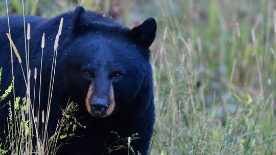 Wisconsin girl, 11, harvests black bear weighing over 700 pounds, is hoping to take state record