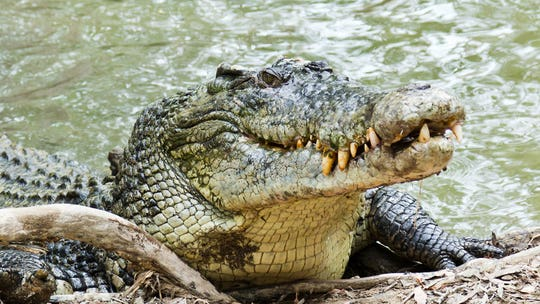 Fisherman accidentally hooks crocodile, struggles to get lure back in video