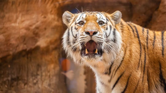 Zoo visitor faces backlash for grabbing tiger's genitals during photo shoot: report