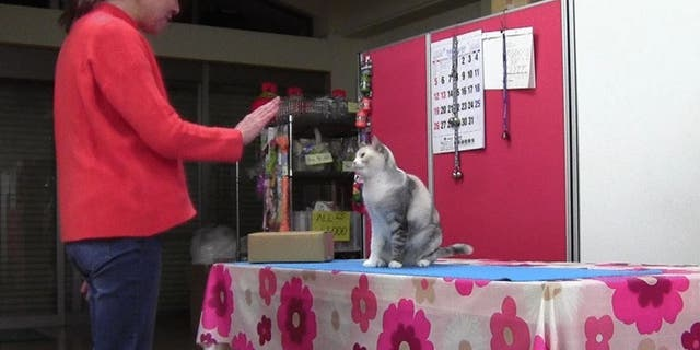 Fumi Higaki works with her cat, Ebisu. (Animal Cognition)