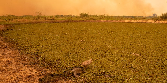 A caiman sits in a field of green as a fire consumes an area next to the Trans-Pantanalhighway in the Pantanal wetlands near Pocone, Mato Grosso state, Brazil, Friday, Sept. 11, 2020. Jair Bolsonaro's government says it has mobilized hundreds of federal agents and military service members to the region to douse the flames. However, all along the only highway through the northern Pantanal, dozens of people — firefighters, ranchers, tour guides and veterinarians — told The Associated Press that the government has exaggerated its response and there are few federal boots on the ground.  (AP Photo/Andre Penner)