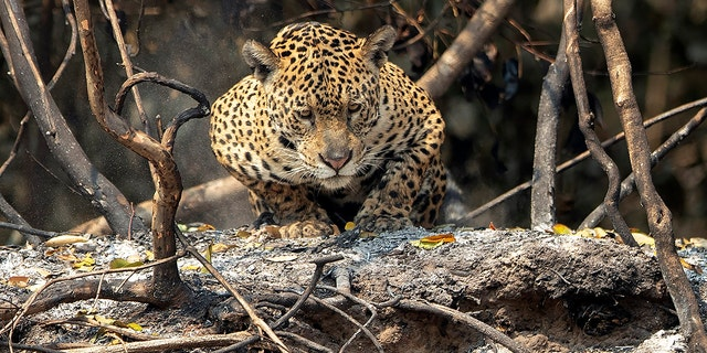 A jaguar crouches in an area recently scorched by wildfires at the Encontro das Aguas state park in the Pantanal wetlands near Pocone, Mato Grosso state, Brazil, Sunday, Sept. 13, 2020. The Pantanal is the world's largest tropical wetlands, popular for viewing the furtive felines, along with caiman, capybara and more. This year the Pantanal is exceptionally dry and burning at a record rate. (AP Photo/Andre Penner)