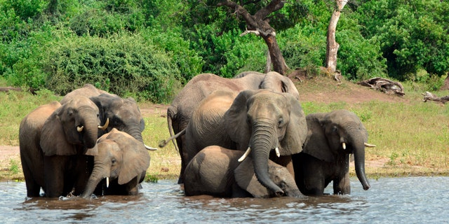 Elephants drink from the Chobe National Park in Botswana.