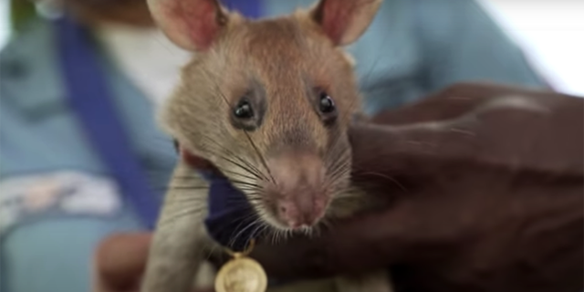 Landmine detection rat Magawa received the PDSA Gold Medal for his life-saving work in Cambodia