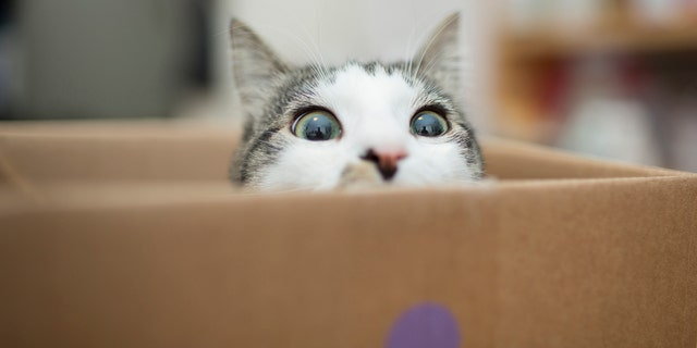 Cats eating just one meal per day had more appetite-regulating hormones and saw other health benefits. (iStock)