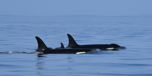 The new calf, J57, with its mother, J35, also known as Tahlequah, were spotted in the eastern Strait of Juan de Fuca in U.S. waters on Friday.