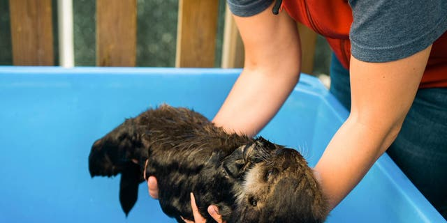 A volunteer at the rescue center holds a wet baby Joey. (Credit: Vancouver Aquarium/Ocean Wise)