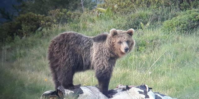 The park is strengthening its bear enclosure in order to prevent more escapes. (Press Office of the Autonomous Province of Trento)