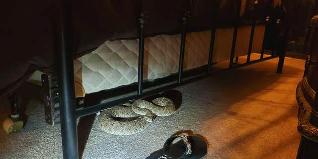 The rattlesnake was curled up under a bed.