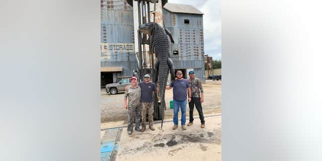 The previous record for longest alligator, per the Encyclopedia of Arkansas, measured 13 脚, 10 英寸, and weighed 1380 磅.