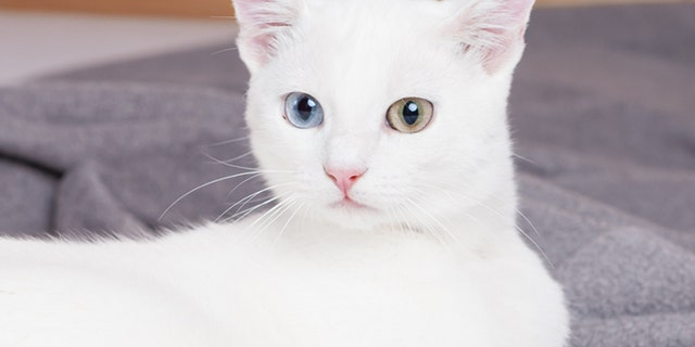 A white cat with extra toes and different colored eyes (nie op die foto nie) has become an Instagram star. (iStock)