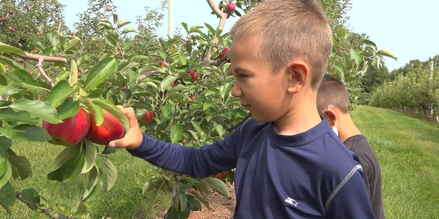 Some Pennsylvania-based apple orchard owners say they are dealing with thousands of spotted lanternflies a day. (Katie Byrne / Fox News)