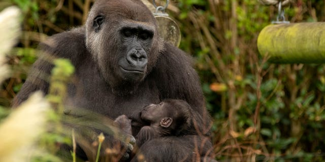 Bristol Zoo's newest addition is thriving at four weeks old. (Credit: SWNS)