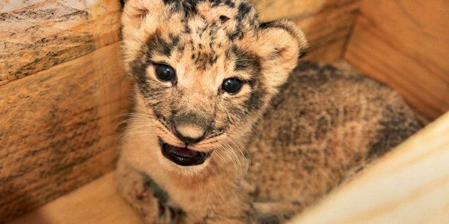 The Dallas Zoo announced this week the births of three African lion cubs. (Dallas Zoo)