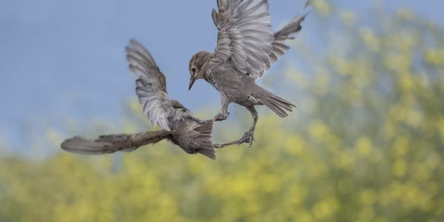 Hungry starlings battled it out mid-air in a bid for food. The birds were snapped near St Andrews, Fife, as they tried to wrestle a scrap off each other. (Credit: SWNS)